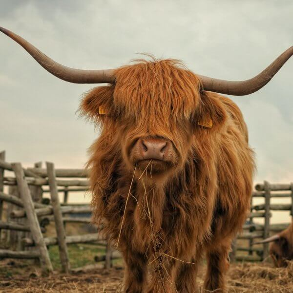 'Highland Cow' Painting workshop @ Yorkshire Ale